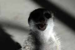Waking Up (zenseas : )) Tags: africa morning rescue pet sun cute abandoned early crazy meerkat sunny cutie sleepy sleepyhead namibia kalahari suricatasuricatta toki sunlover lovingthesun kalaharigamelodge