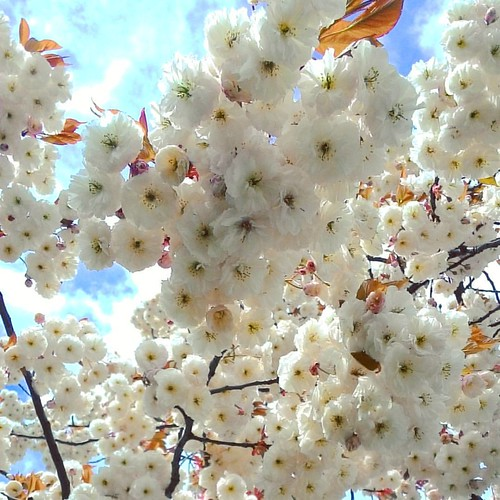 It is just about #openeyes and see the #beauty in #ordinarythings 💜🌼💜 #ilovespring #springmood #spring #springflowers #sakura #treesinblossom #blossoms #white