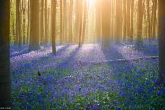 The enchanted Forest (Nedko Nedkov) Tags: blue brussels bells landscape spring europe belgium hallerbos