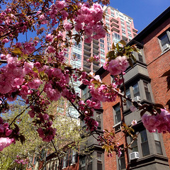 Pink on Pink (BlogKing) Tags: blossoms philly condos