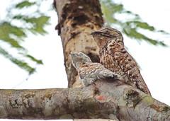 Nictibio Grande (Pâjaro estaca, leona, bruja) - Great Potoo - (Nyctibius grandis) (raulvega) Tags: bruja leona greatpotoo nyctibiusgrandis avesdecostarica nictibiogrande raúlvega pájaroestaca