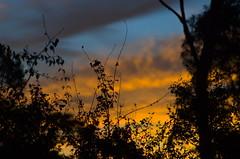 Dawn (Occasionally Focused) Tags: sky tree silhouette clouds sunrise dawn pentax takumar manualfocus sunny16 manualexposure unmetered rawtherapee justpentax takumarbayonet takumarbayonet135mm125 singleinapril2016