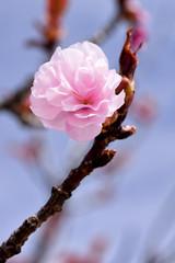 Pink Blossom (WilliamND4) Tags: pink flower nikon blossom d750 tokina100mmf28atxprod tokina100mmf28lens