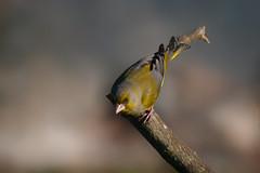 Copycat (Luis-Gaspar-Taking-A-Break) Tags: bird portugal animal nikon iso400 finch ave f56 greenfinch passaro carduelischloris d60 europeangreenfinch castelodevide 11600 verdelhao verdilhao 55300