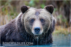 Coastal Brown Bear 092014-0281-W.jpg (RobsWildlife.com  TheVestGuy.com) Tags: bear travel wild nature alaska canon outdoors photography wildlife fineart professional adventure anchorage wilderness anc epic wildlifephotographer brownbear animalart wildanimals animalprints 2014 crescentlake redoubt 2015 canoncamera wildlifeart rml wildlifephotography redoubtlodge lakeclarknationalpark redoubtmountainlodge chigmitmountains wildalaska alaskawild alaskaadventure coastalbrownbear wildlifeprints robdaugherty 092014 thevestguycom robswildlifecom robswildlife 8016989080 epicwildlifeadventures northernaleutianrange robswildlifecom 2014robswildlifecom