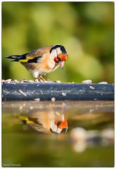 miroir, mon beau miroir ... (Paloudan) Tags: bird mirror goldfinch sparrow miroir oiseau chardonneret chardonneretlgant passereau