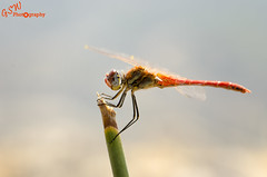 Darter Macro (Gavmonster) Tags: red macro green yellow insect gold wings nikon europe mediterranean dragonfly corinth greece micro perch veins ancientgreece fairywings oldcastle redveineddarter sympetrumfonscolombii ancientcorinth akrokorinth d7000 gswphotography