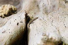 Skink (47) Driftwood (sixdos) Tags: nature fauna canon reptile lizard queensland skink missionbeach biodiversity tropicalnorthqueensland farnorthqueensland australiannativefauna garnersbeach canoneos7dmarkii missionbreaze