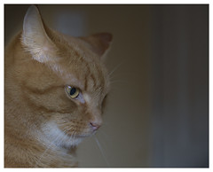Bob - Looking Down on Dogs (theimagebusiness) Tags: cute cat ginger eyes orangecat feline felix superior whiskers lookingdown gingercat observing petphotography 2470 d810 theimagebusiness photographersinscotland theimagebusinesscouk