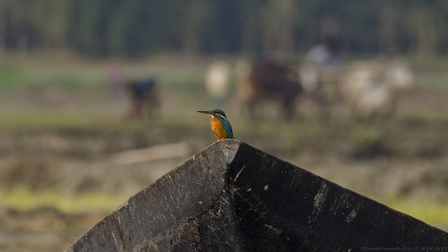 Wild n Rural Life - a small blue kingfisher.
