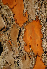 Rough and smooth (judith511) Tags: pine curves bark colourful rough week30 7daysofshooting texturetuesday naturethroughthelens