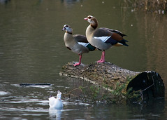 20160116-18_Coombe Abbey_Egyptian Goose (gary.hadden) Tags: birds geese pretty goose egyptian coombeabbey coombecountrypark coombepark