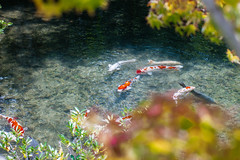Carps in a pond (Mariano Carles) Tags: geotagged temple pond kyoto august carps carp eikando 2015 nx300m