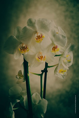flowers (imagomagia) Tags: flower naturallight stillife