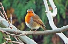 Robin in an Ash Tree in my garden (cowcornerman1) Tags: robin
