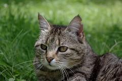 Late tiger (IV) (dididumm) Tags: sunshine cat tabby tiger rip relaxing meadow wiese katze sonnenschein entspannen getigert relaxen