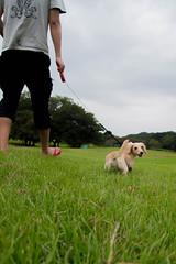 IMG_3119 (yukichinoko) Tags: dog dachshund 犬 kinako ダックスフント ダックスフンド きなこ