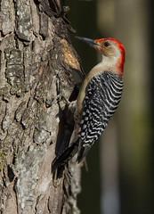 Red-bellied Woodpecker, male (AllHarts) Tags: ngc npc memphistn backyardbirds maleredbelliedwoodpecker avianexcellence naturesspirit naturescarousel thesunshinegroup