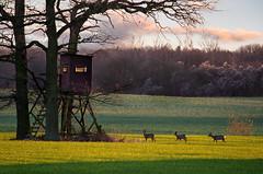 Fooling the hunter (kristian.pichol) Tags: tree evening abend deer hunter rehe jger