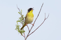 Common yellowthroat (Phiddy1) Tags: ontario canada birds warbler yellowthroat commonyellowthroat cardenalvar