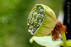 Head of Lotus (umijin) Tags: usa plant lotus guam seedpod guahan mangilao vole americanlotus tracheophyte nelumbolutea canon500dcloseuplens yellowlotus   territoryofguam latteheights waterchinquapin vascularlandplant botanyterminology plantterms nelumbospp