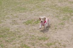 IMG_0724 (yukichinoko) Tags: dog dachshund 犬 kinako ダックスフント ダックスフンド きなこ