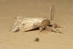 Lepidoptera  (Moth sp) - South Africa (Nick Dean1) Tags: insect southafrica moth lepidoptera arthropoda krugernationalpark satara arthropod hexapod insecta hexapoda