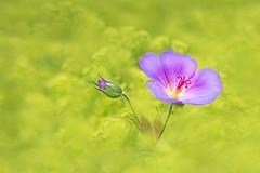 ummantelt (SonjaS.) Tags: flower canon spring purple bokeh 100mm lila gelb blume makro blte farbig frhling frauenmantel storchschnabel inselmainau