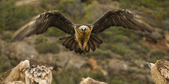 Bearded Vulture landing - Catalan Pyrenees - Spain_S4E7720 (fveronesi1) Tags: birds spain europe catalonia beardedvulture