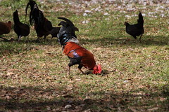 Canon201716 (godrudy6661) Tags: chickens chicken neworleans ninthward wildchicken feralchicken