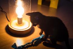 IMG_3180 (BalthasarLeopold) Tags: pet cats pets animal animals cat blackcat mammal kitten feline dof kittens felines blackcats indoorcat dephtoffield scratchpost