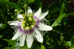 Passionfruit flower (dgardenia) Tags: flower fruit bulb garden tomato spring pond lily plumeria pomegranate vegetable amaryllis frangipani maco hyacinth passionfruit alyssum belladonnalily