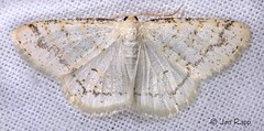 06270 Protitame virginalis - Virgin Moth 2  (22WS) (MO FunGuy) Tags: missouri 6270 protitamevirginalis virginmoth
