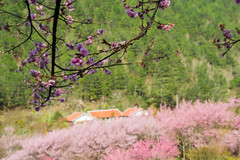 20160306-DSC_6075 (Kay's...) Tags: cherryblossom sakura   wuling wulingfarm