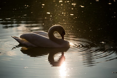 Giant hangover (ukasz Kurpias) Tags: nature water animals digital canon eos swan view natura 5d brooding fullframe ff woda widok markiii abd dsrl 5dmarkiii wysiadywanie zwierzte