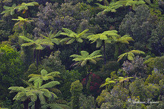 ~ In the Forest (Antonia Krmer) Tags: newzealand forest rainforest lotr lordoftherings westcoast punakaiki wald farn neuseeland ferntree regenwald herrderringe baumfarn antoniakraemer