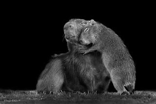 Capybara (Hydrochoerus hydrochaeris). Capibara, Carpincho, Chigüire.