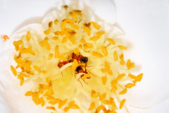 3 ants and a camellia (donjuanmon) Tags: red orange white yellow ant butt pollen camellia sliders hss slidersunday donjuanmon