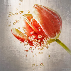 Drowned tulip (Anneke Jager) Tags: flowers flower art texture water canon flora fineart tulip waterdrops bloemen textured bloem drowned tulp textuur waterdruppel annekejager