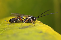 Ichneumon wasp on camellia leaf (Lord V) Tags: macro bug insect wasp ichneumon campopleginae