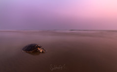 This is the End (Subhadip C, AFIAP) Tags: sunset sea india west beach dead turtle end bengal the carapace subhadip tajpur