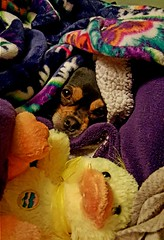 Hiding   Thanks for EXPLORE !!! 4-11-16 (MustangRosie) Tags: brown black girl puppy bed sweet small hiding