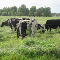 041416 wild cows 1 (45) (Sonomabuzz) Tags: california wild cow cows sonomacounty rohnertpark wildcows