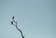 african white-backed vulture (Gyps africanus) (delimaaaaaaaaa) Tags: africa trip southafrica safari viagem krugerpark reserva gamereserve frica safri fricadosul