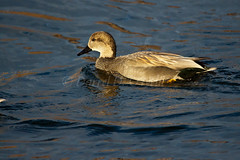 Gadwall Drake 2 (LongInt57) Tags: blue brown canada black bird nature water swimming duck pond wake bc okanagan wildlife floating ripples kelowna drake gadwall