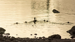 Nueva pollada de Anades Reales, Rio Guadalquivir, La Calahorra (juanka500) Tags: naturaleza real guadalquivir aves crdoba anade d5200 juanka500 qnyzg9iyq sotosdelaalbolfia