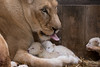 DSC_3848WM (Linda Smit Wildlife Impressions) Tags: cats white nature animal cat mammal photography big nikon outdoor african wildlife birth lion d750 cubs endangered lioness bigcats cecil carnivore lioncubs givingbirth