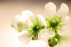 Venusfliegenfallenblte (dretschi) Tags: flower macro pflanze grn blume makro blte dionaeamuscipula weis bltenstaub carnivoren droseraceae venusfliegenfalle fleischfresser sonnentaugewchs