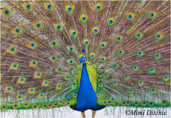 Pretty Boy (Mimi Ditchie) Tags: bird feathers peacock winery getty gettyimages seecanyon mimiditchie mimiditchiephotography kelseyseecanyonwinery fannedoutfeathers