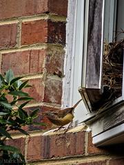 Carolina Wren (LastNitesFun) Tags: bird spring nest wren virignia carolinawren